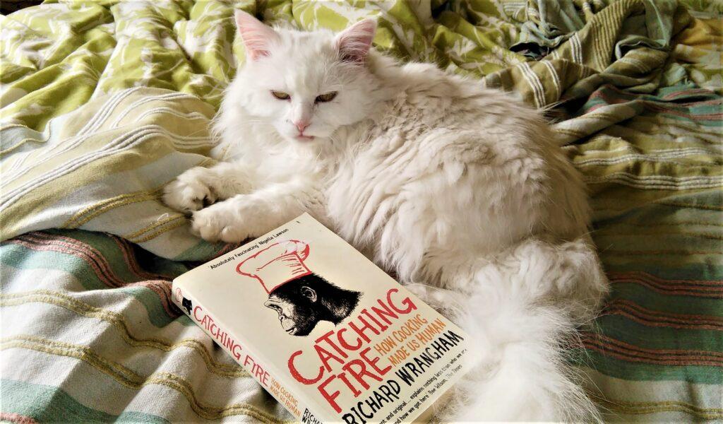 A fluffy white cat ignoring a book.
